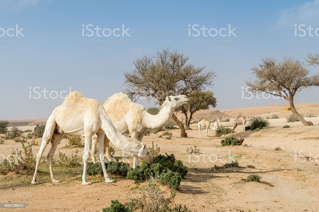 White camels in the desert stock photo