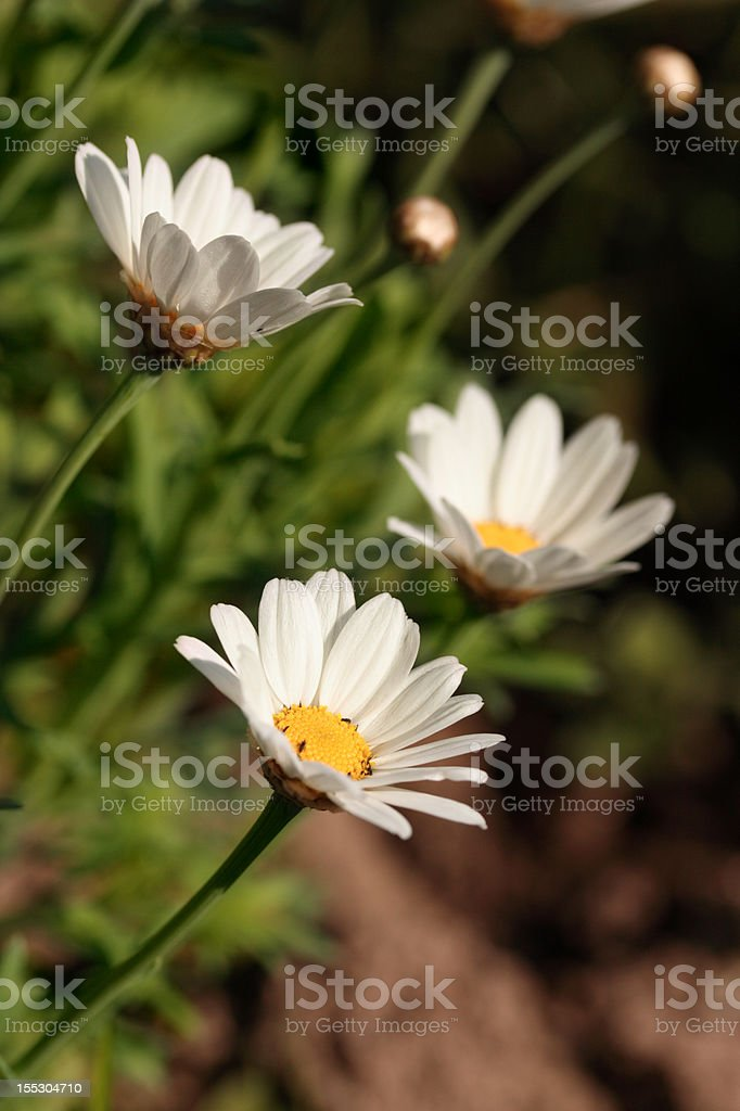 white camomile royalty-free stock photo
