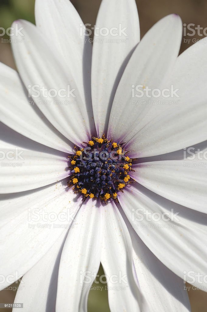 white  camomile royalty-free stock photo