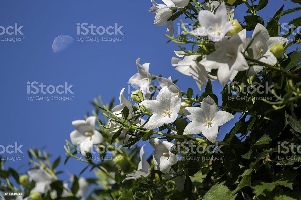 White campanula stock photo