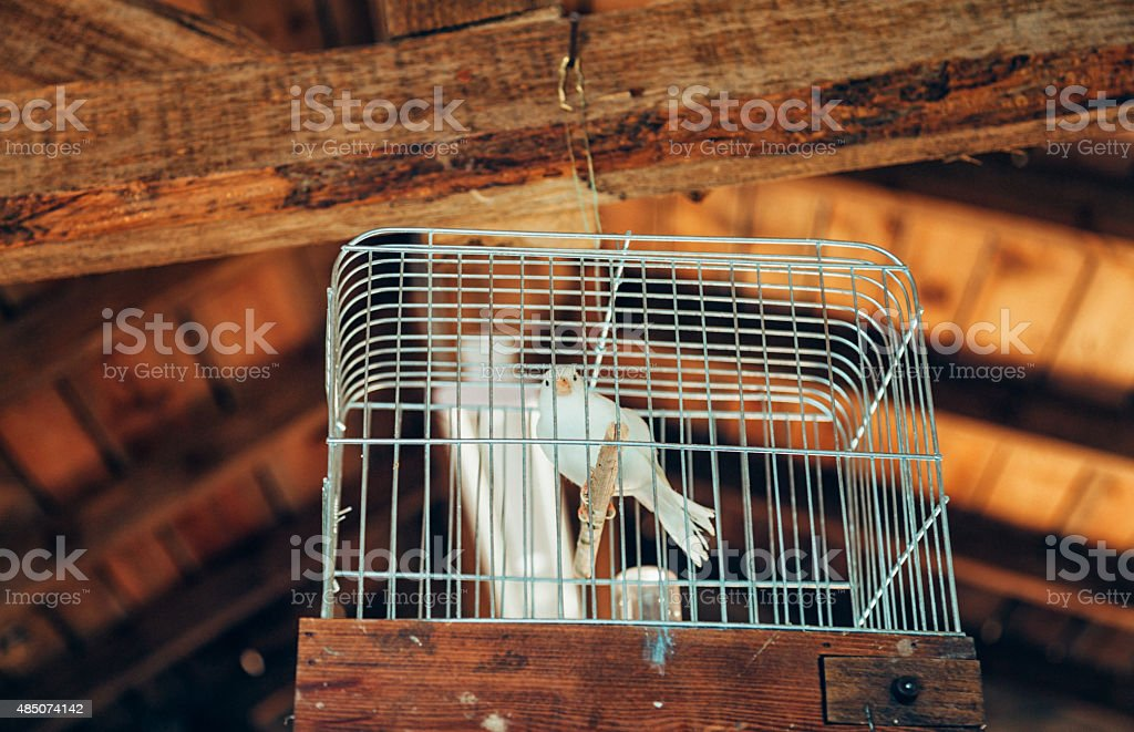 White canary in the cage stock photo
