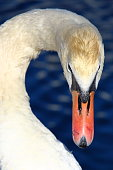 White candid swan