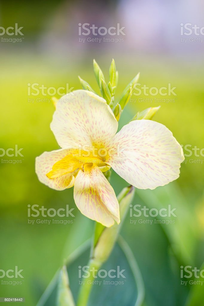 White Canna flower (Canna indica) in the garden with blurred stock photo