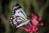 White Caper Butterfly