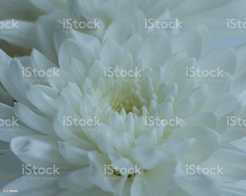 White Carnation flower stock photo