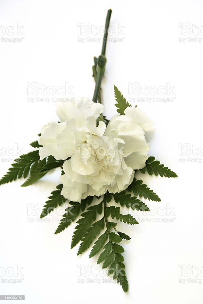 White Carnation with a Fern Leaf royalty-free stock photo