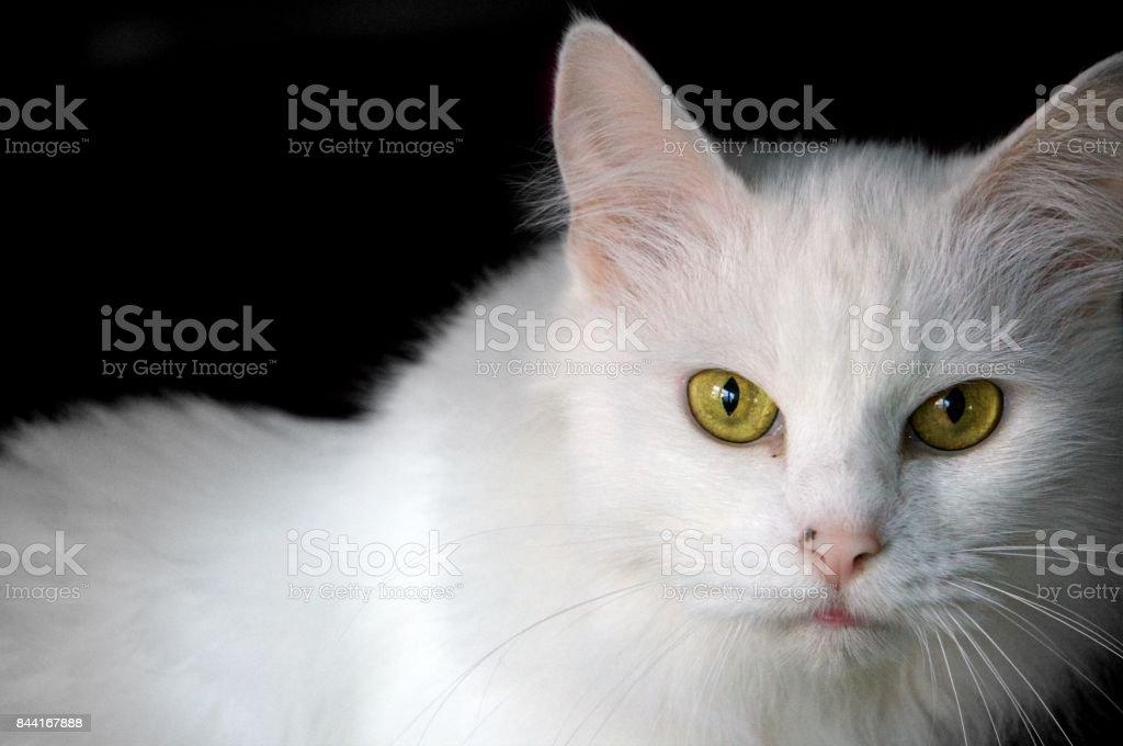 A white cat; full gaze stock photo