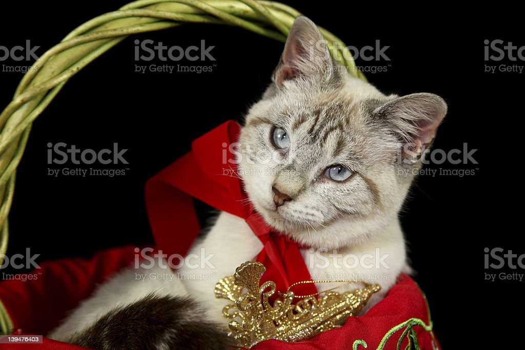 White Cat in Christmas Basket royalty-free stock photo