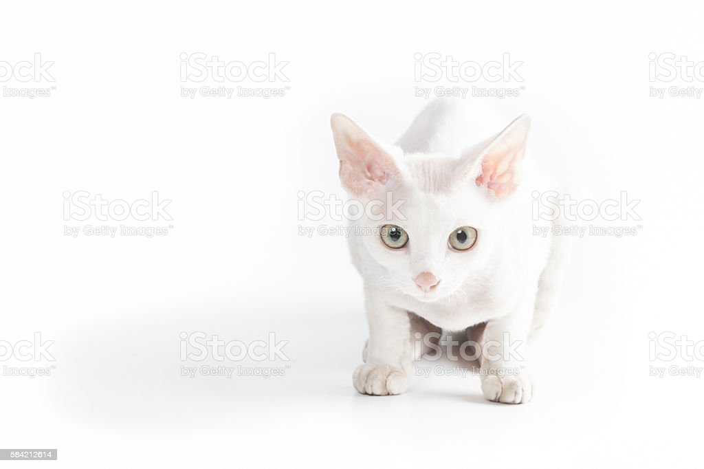 White cat looking at photographer stock photo
