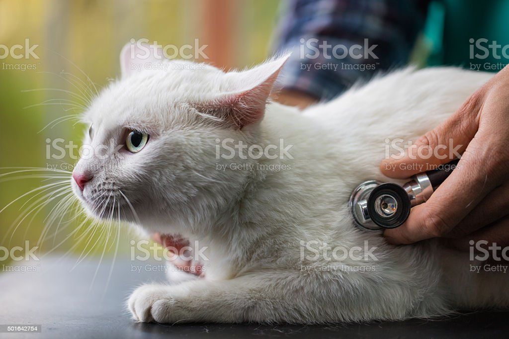 White cat on a medical exam at veterinarian's office. stock photo