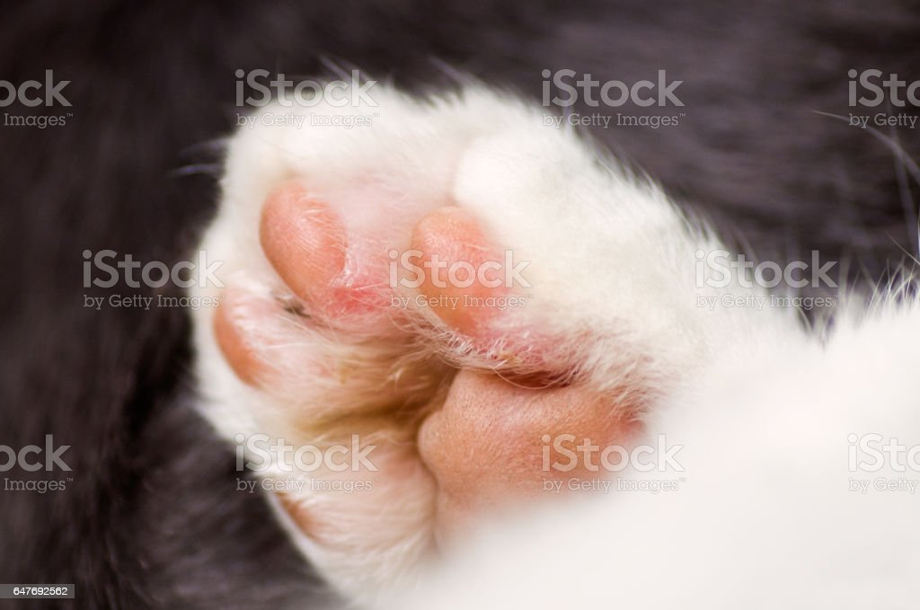 White cat, paw. stock photo