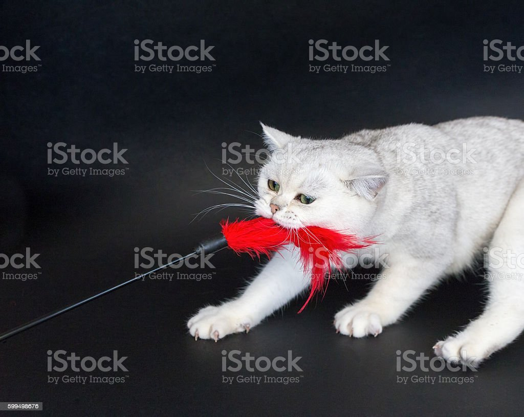 White cat playing pulling red toy stock photo
