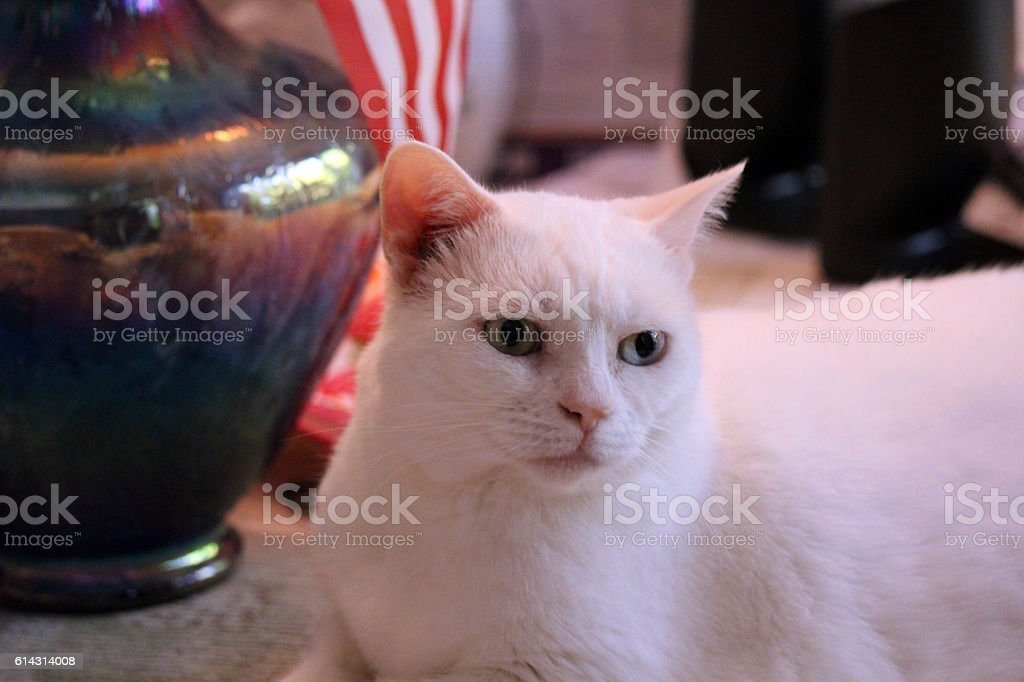 White Cat Relaxes on a Table stock photo