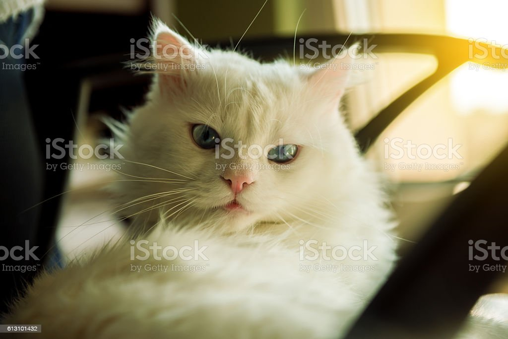 White cat relaxing on the sofa stock photo