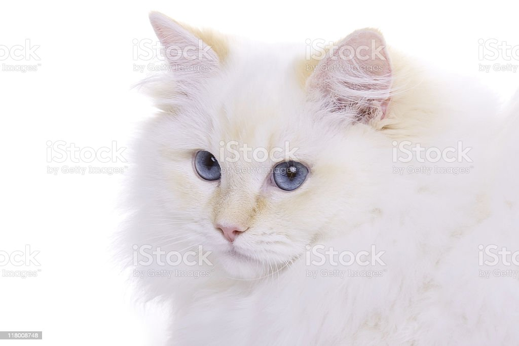 White Cat with blue eyes royalty-free stock photo