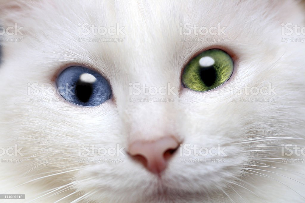 white cat with different colored eyes stock photo