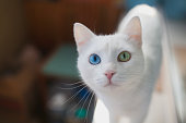 White cat with different eyes closeup.   blue and green eye
