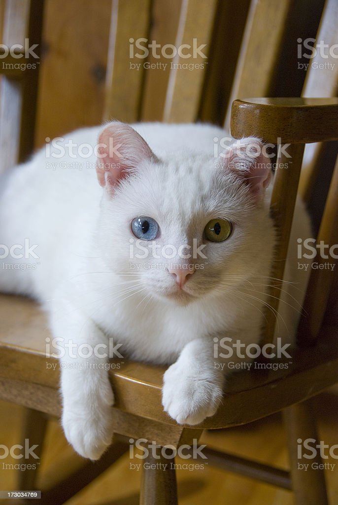 White Cat with two eye colors royalty-free stock photo