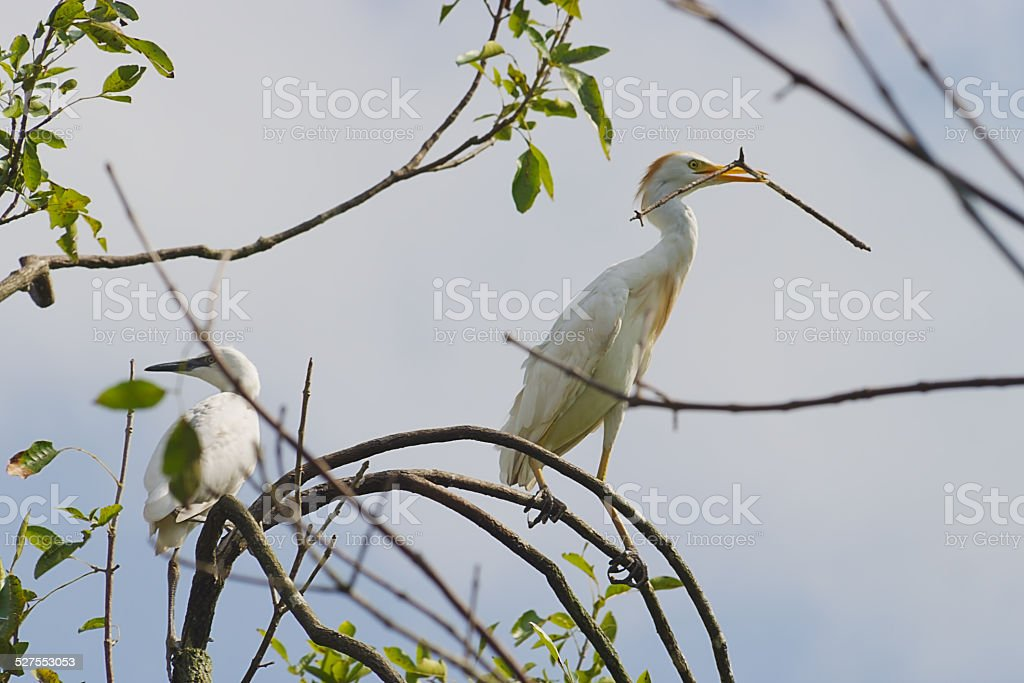 White Cattle Egrets in Big Cypress National Preserve in Florida stock photo