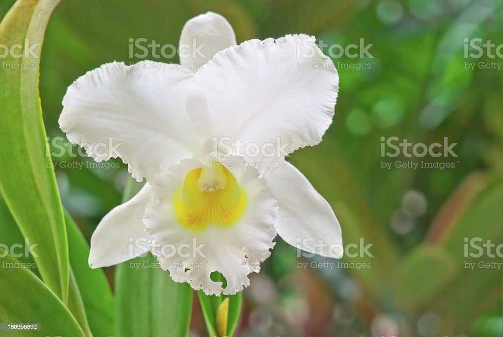 White cattleya, orchid stock photo
