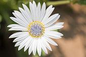 white chamomile flower with purple pistil.