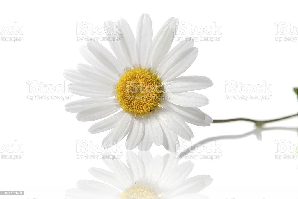 white chamomile isolated stock photo