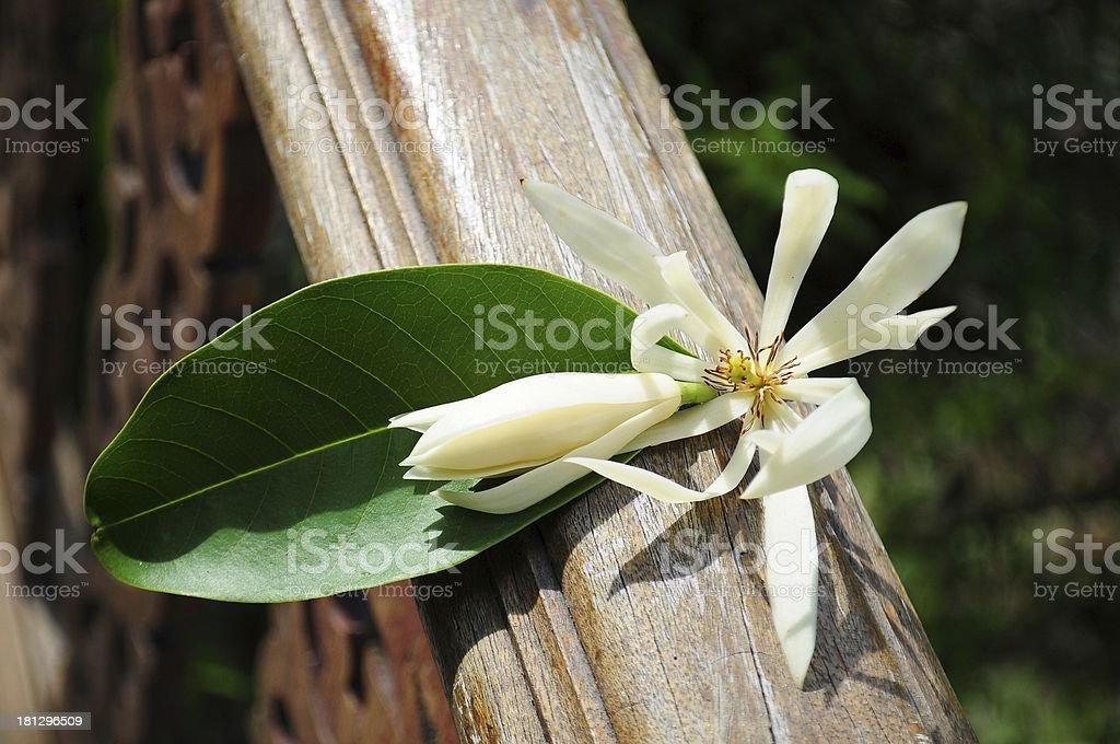 White Champa royalty-free stock photo