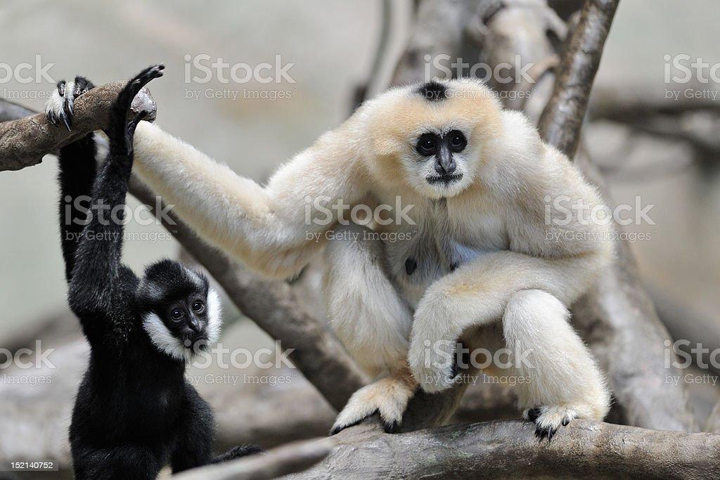 White cheeked gibbons stock photo