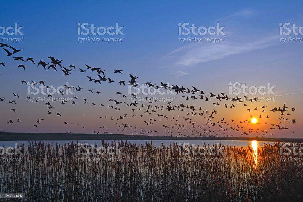 White Cheeks Geese,german North Sea,East Frisia stock photo