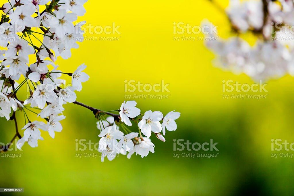 White Cherry Blossom against Unfocused Canola Flowers stock photo