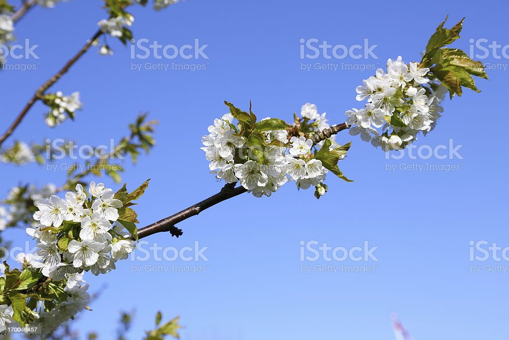White cherry blossom flowers at spring time stock photo