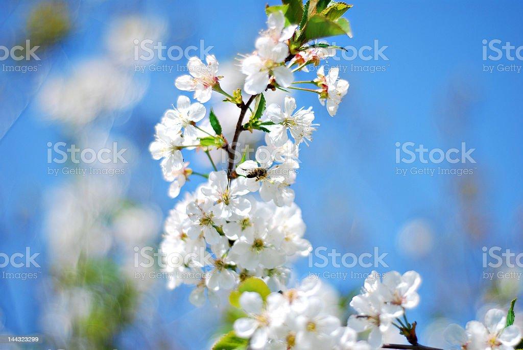 white cherry blossom flowers royalty-free stock photo