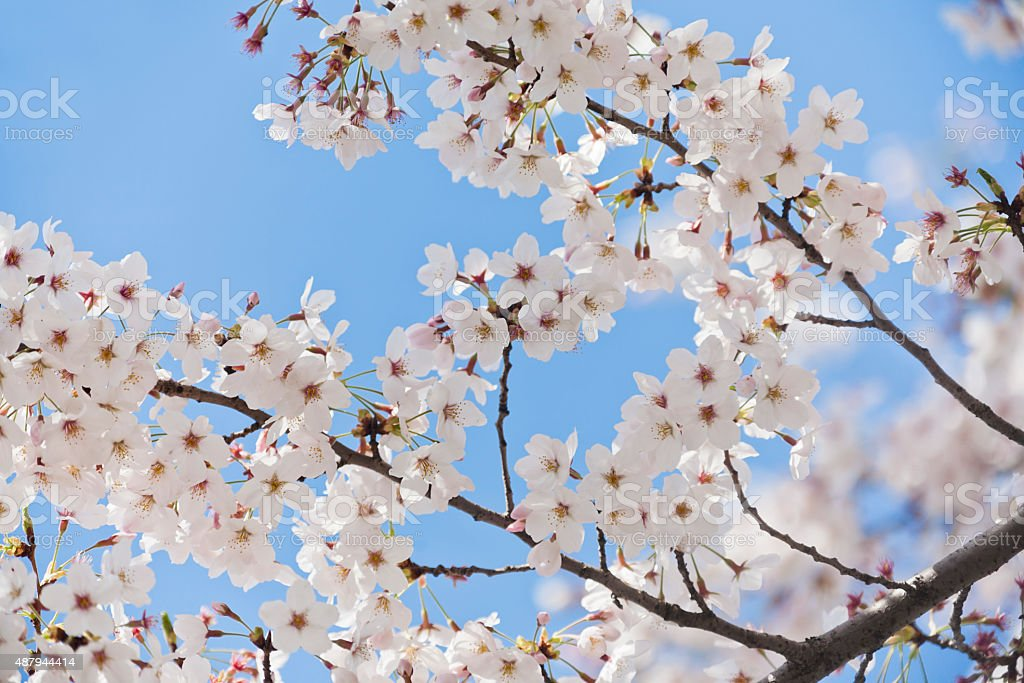 White Cherry Blossoms Against Clear Blue Sky stock photo