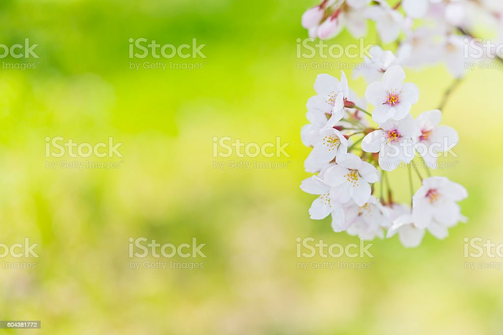 White Cherry Blossoms against green background stock photo
