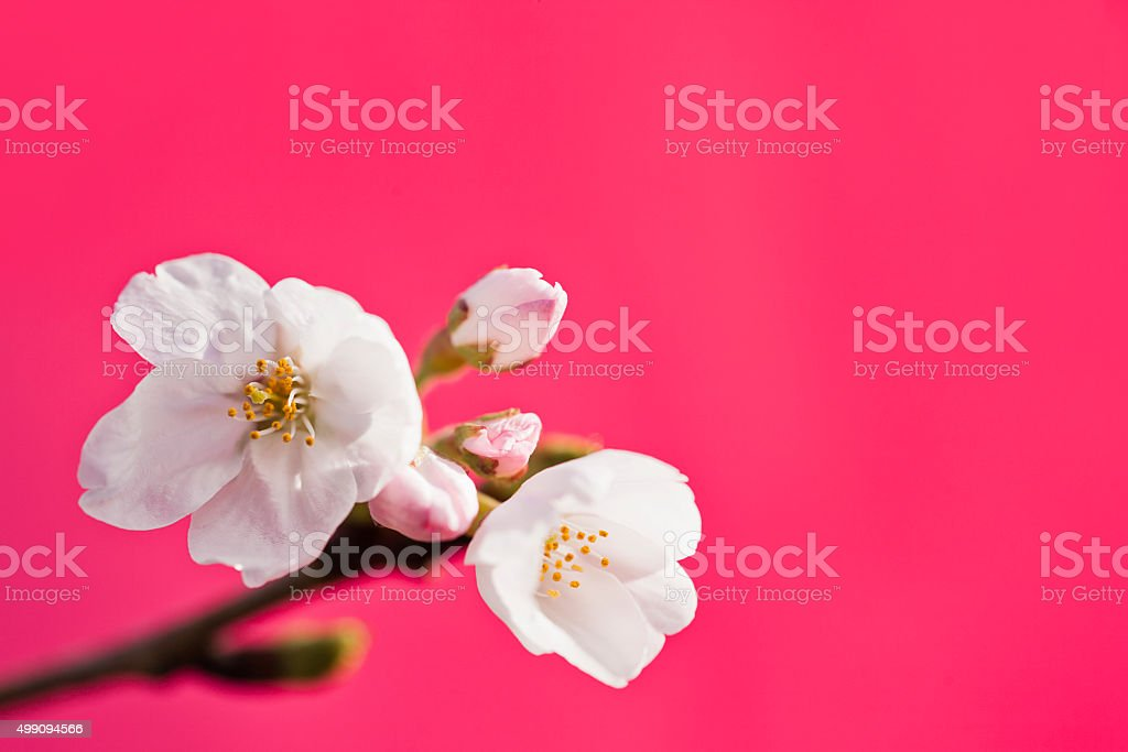 White Cherry Blossoms Against Pink Background stock photo
