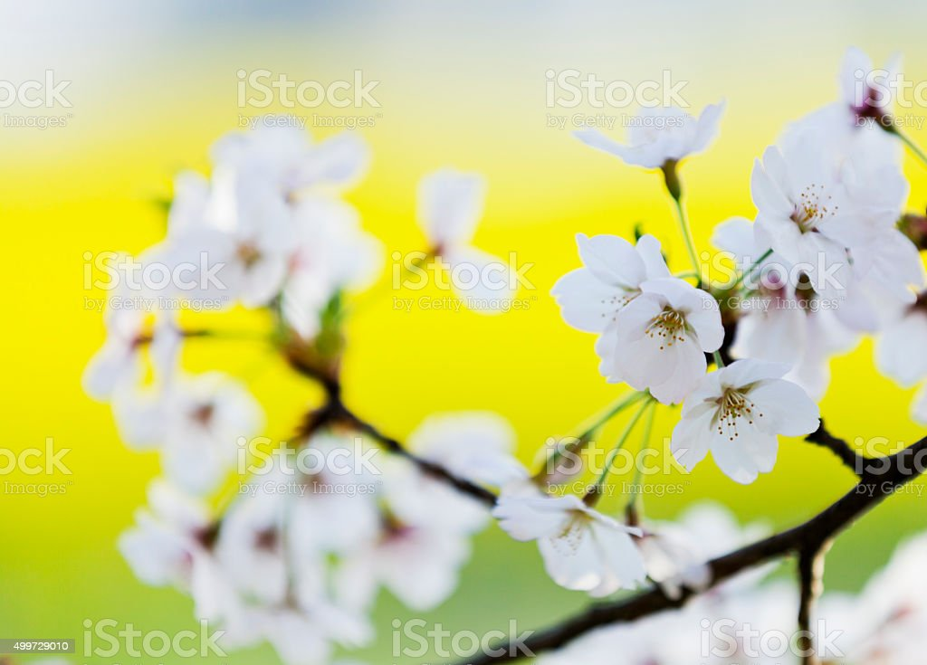 White Cherry Blossoms Against Yellow Background stock photo