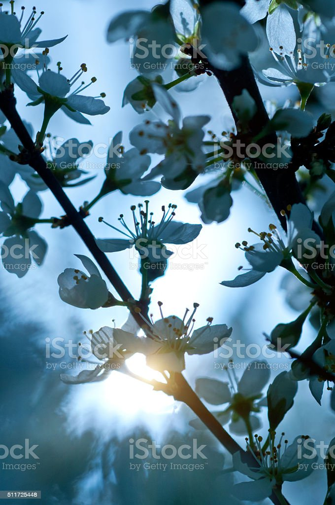 white cherry blossoms in spring - in evening stock photo
