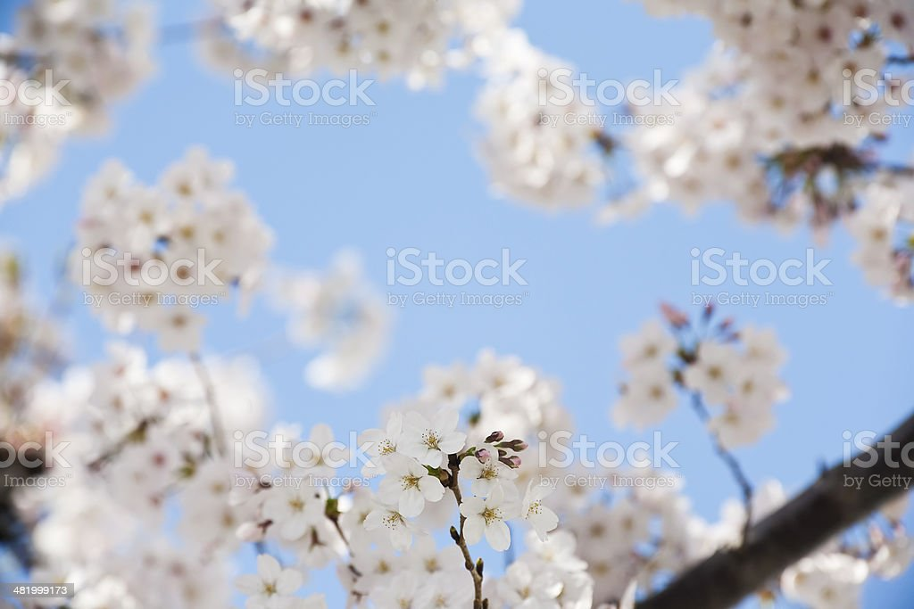 White Cherry Blossoms royalty-free stock photo