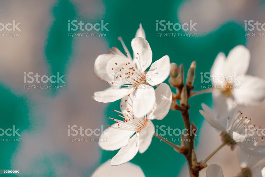 white cherry flowers close up in turquoise and white abstract pattern backgrounds stock photo