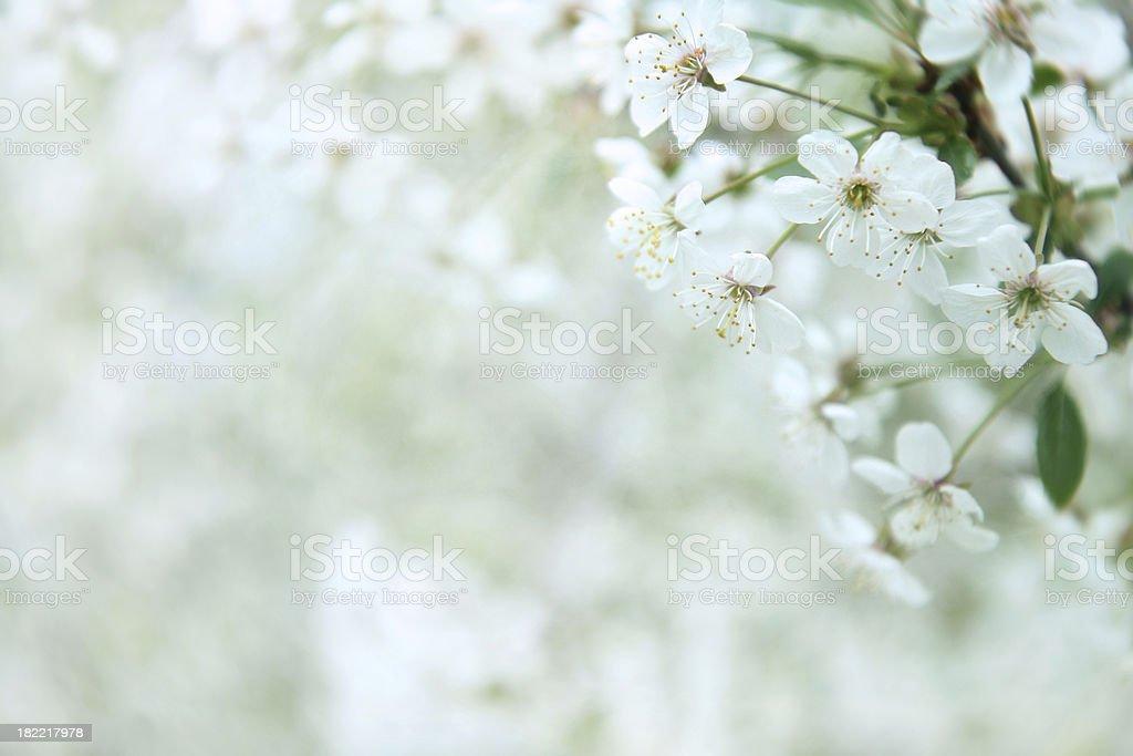 white cherry flowers royalty-free stock photo