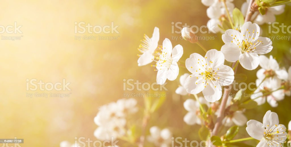 White cherry flowers with space for text on orange background. Color toned. stock photo