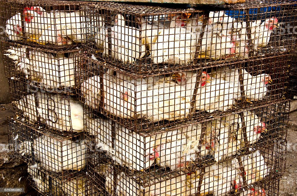 white chickens in cages, India stock photo