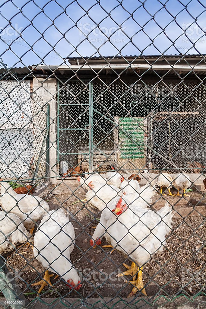 White chickens or hens inside a chicken coop stock photo