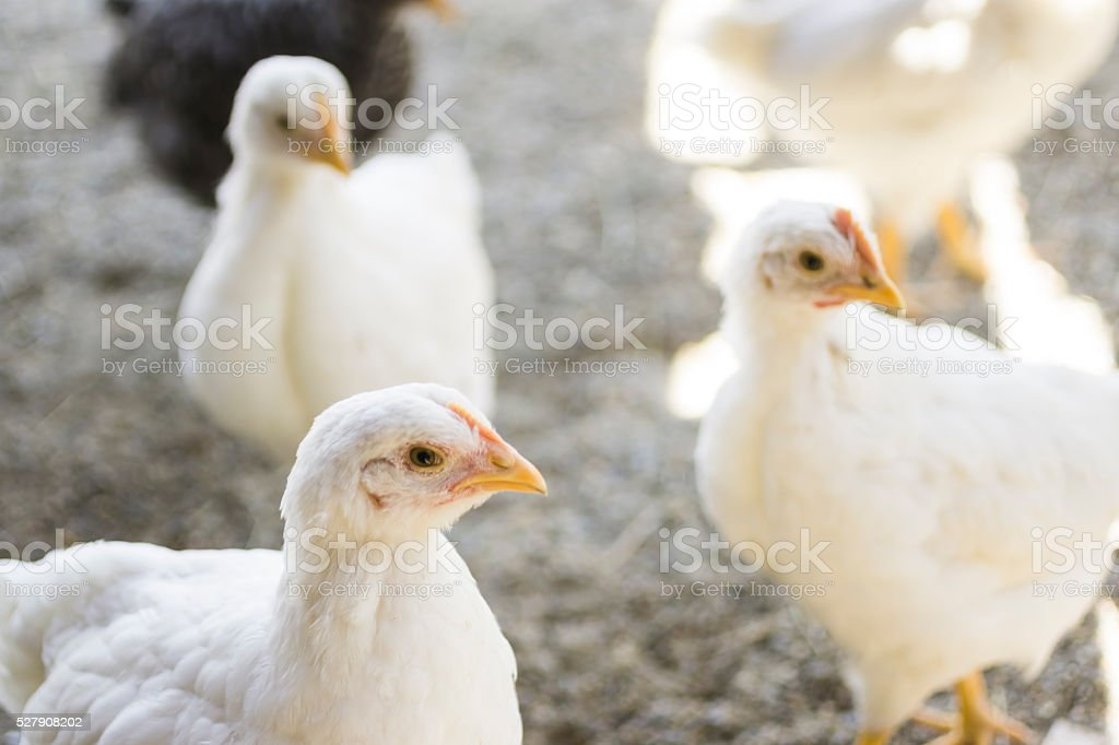 White Chickens stock photo