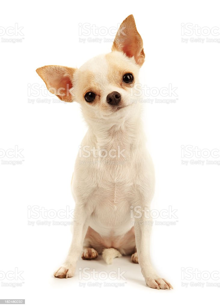 White Chihuahua puppy sitting down on a white background stock photo