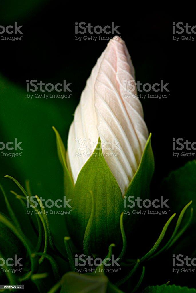 White Chinese Hibiscus stock photo