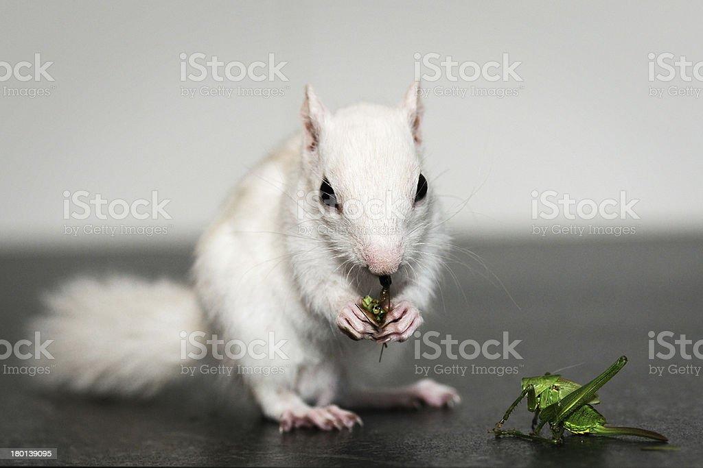 White chipmunk stock photo