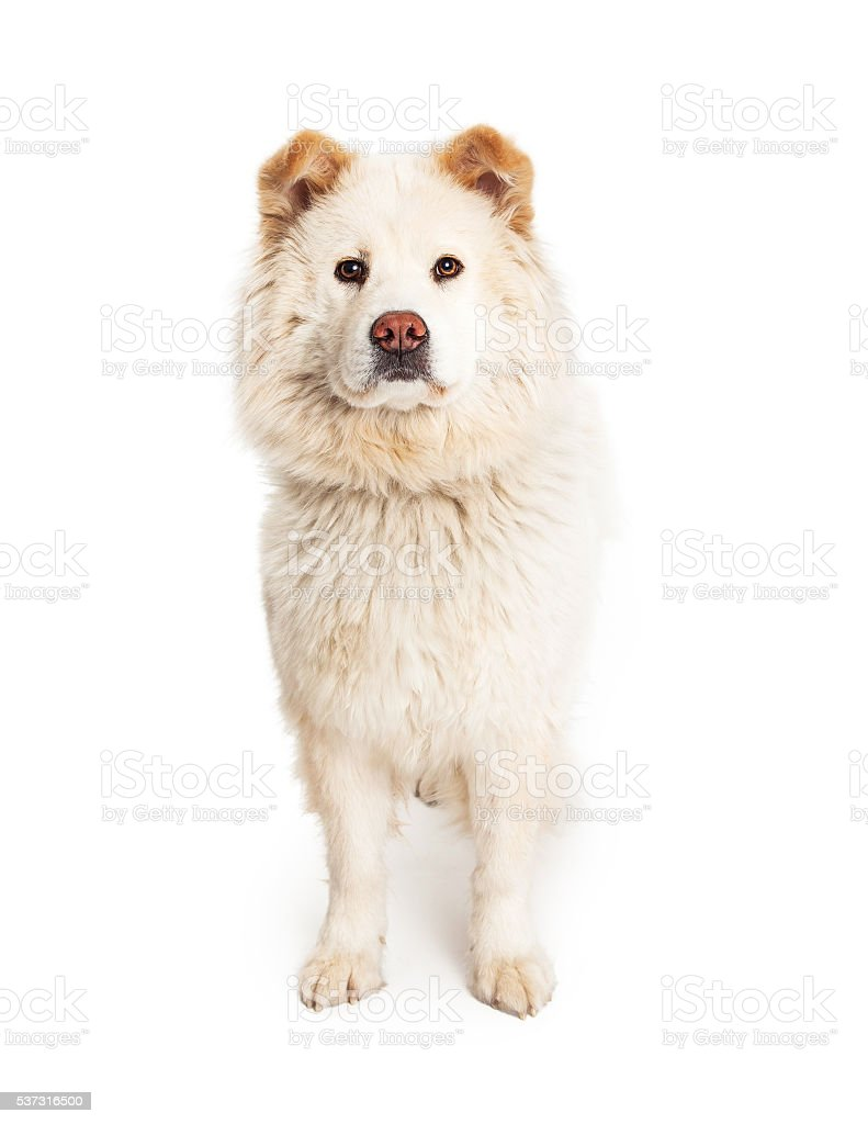 White Chow Crossbreed Dog Standing stock photo