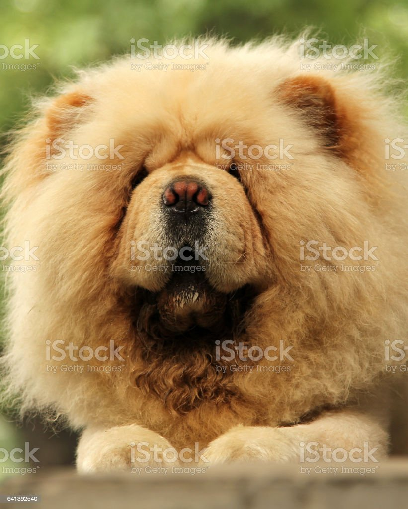 white chow-chow dog stock photo