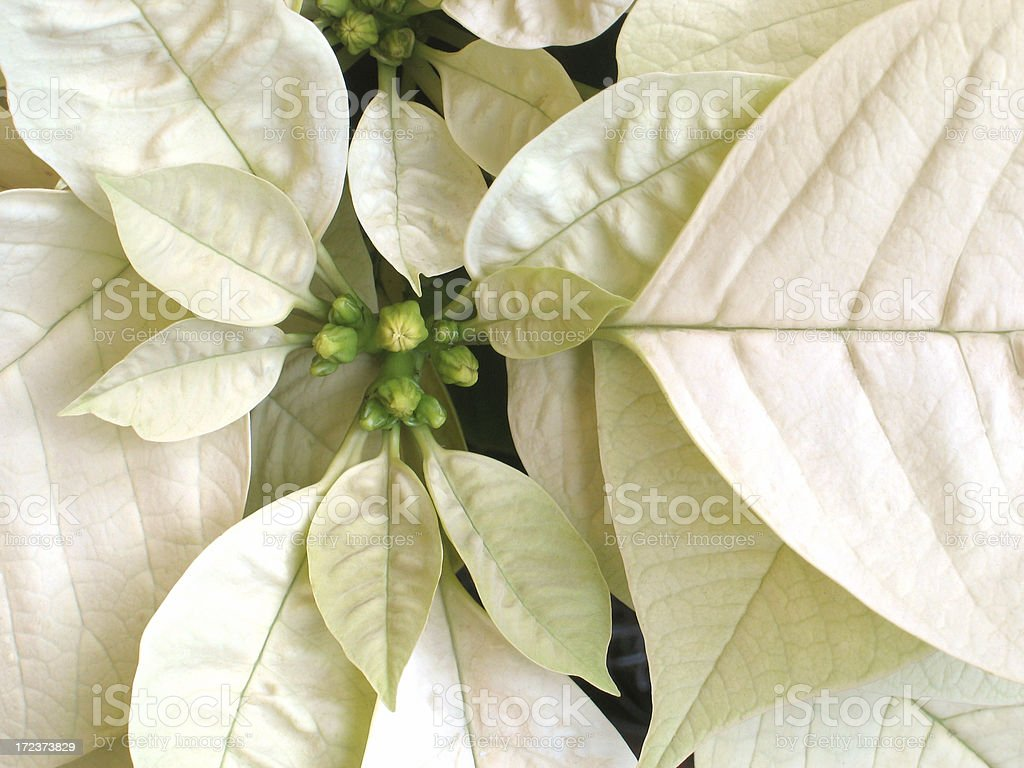 White Christmas Flower royalty-free stock photo